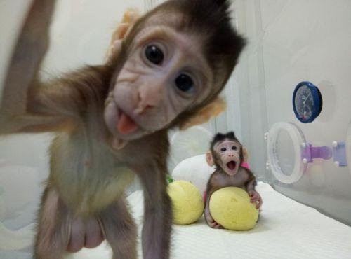 【深圳试管婴儿费用多少】_体细胞克隆猴竟然与试管婴儿技术息息相关