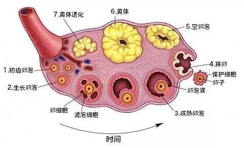 【为什么要去泰国做试管婴儿】_到底怎么调理,才能提高卵巢功能?